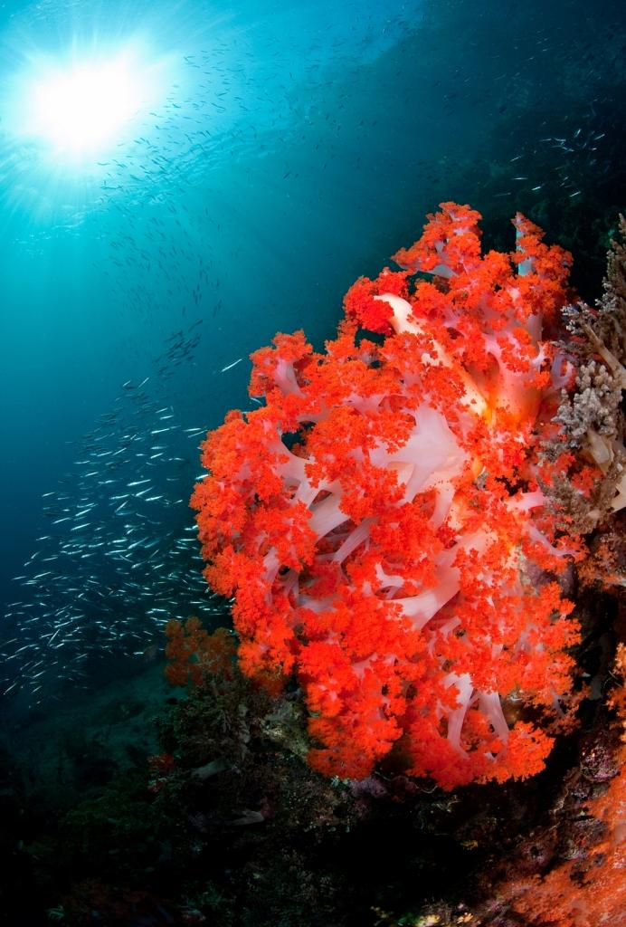 Soft-Coral-Raja.jpg