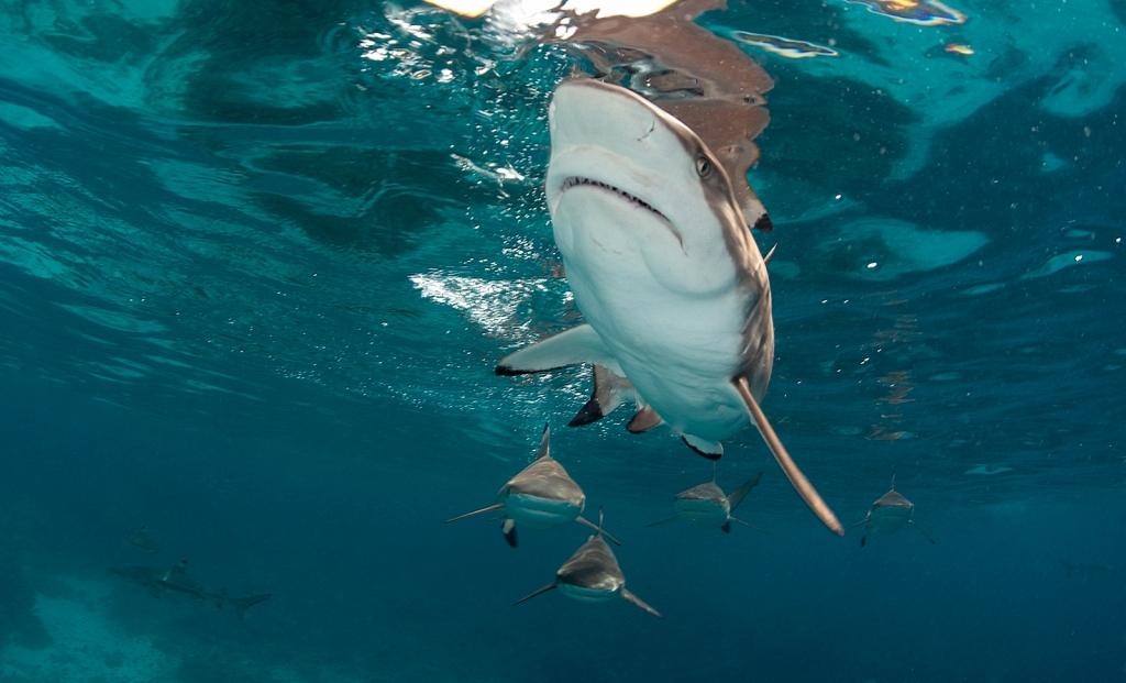 VBlack-tip-reef-sharks-Solomons.jpg