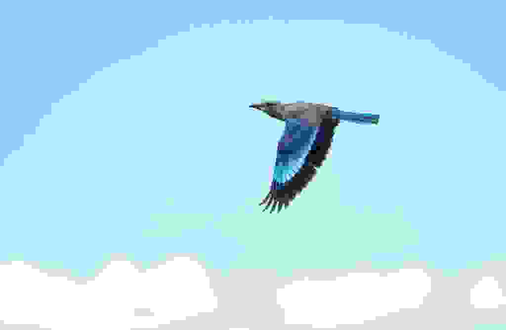 lilac-breasted-roller-in-flight.jpg