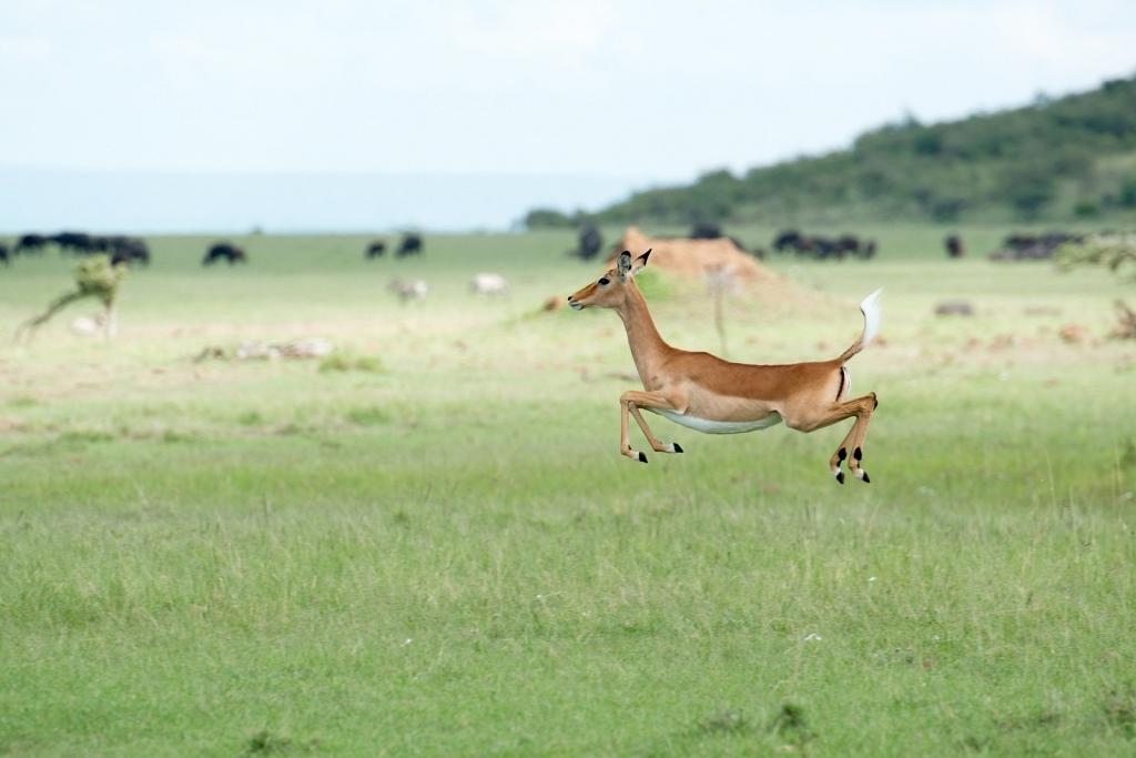 Impala-in-kenya.jpg