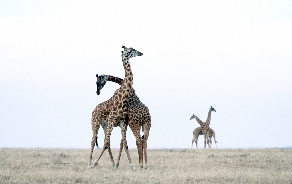 pairs-of-necking-giraffes.jpg