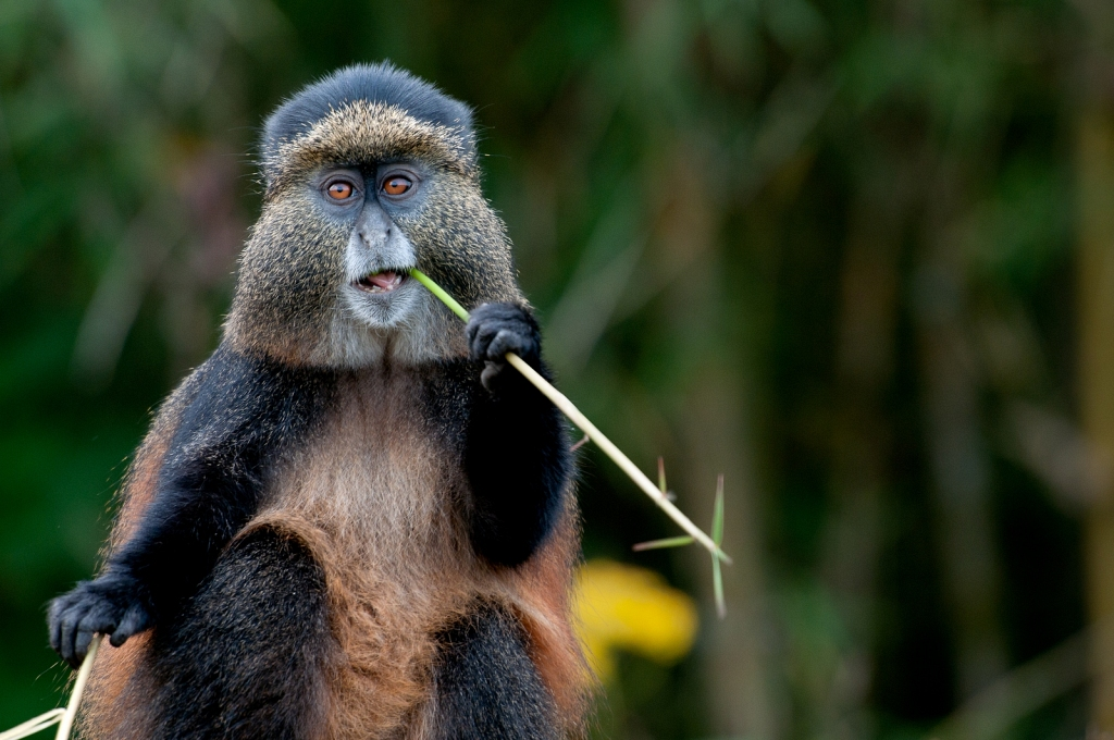 golden-monkey-eating-Rwanda.jpg